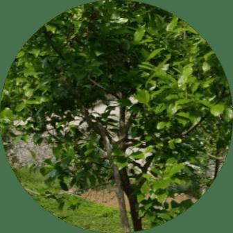 adalar ağaç budama