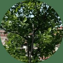 avcılar ağaç