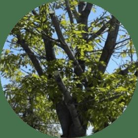 ağaç budama