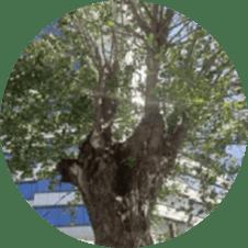 ağaç budama ustası