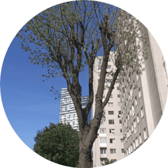 ulus ağaç