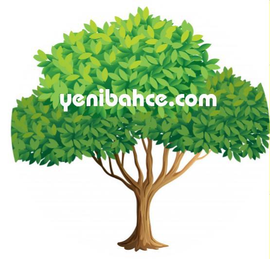 Sığla ağacı budama