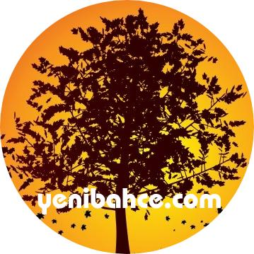 akçaağaç ağacı