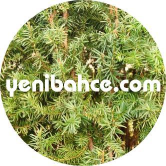 porsuk ağacı türleri