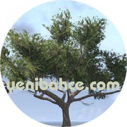 akasya ağacı