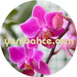 canlı orkide