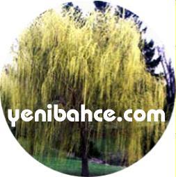 söğüt ağacı