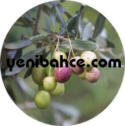 zeytin ağacı budama