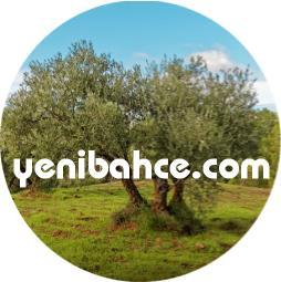 zeytin ağacı fidanı budama