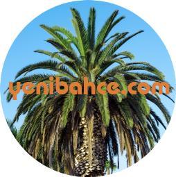 palmiye ağacı budama